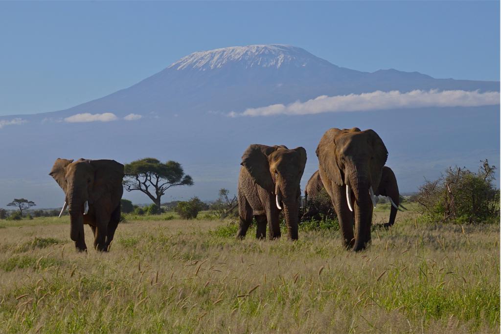 Safari - Mount Kilimanjaro with elephants in front