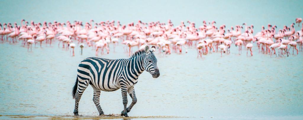 Safari, Kenya - Zebra walking in front of lake with a herd of flamingos
