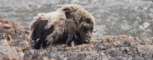 Northwest Passage Musk Ox