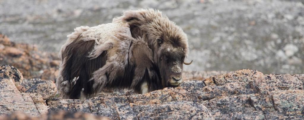 Northwest Passage Musk Ox
