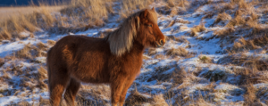 European destinations: An Icelandic horse