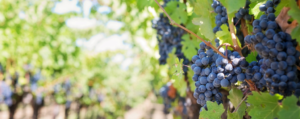 Good-value Bordeaux - Grapes on a vine