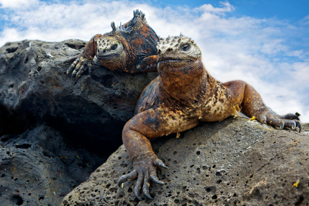 2 reptiles on a rock in the Galapagos