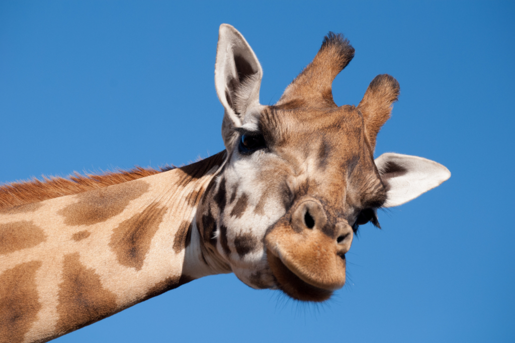 A giraffe and blue sky