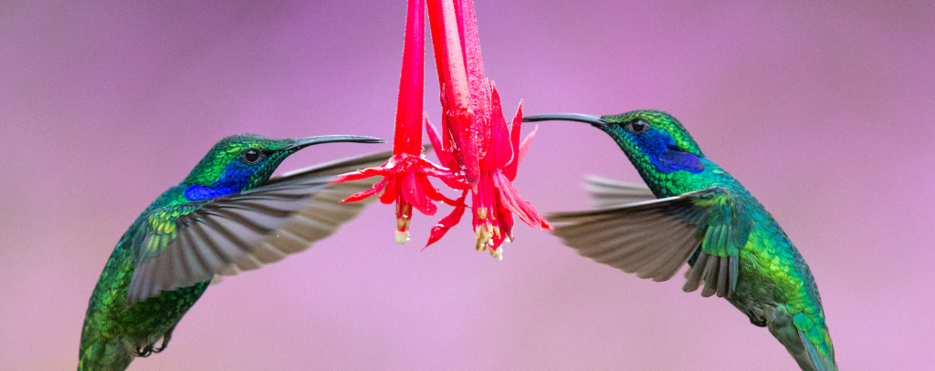 2 hummingbirds, Costa Rica