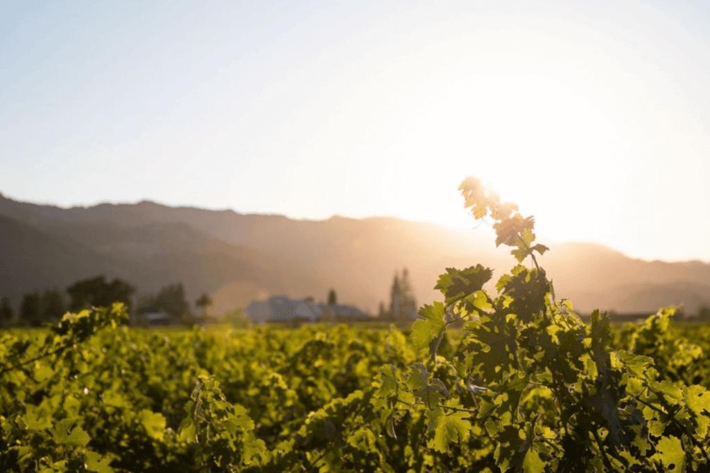 Sunlit vineyard tended by winemakers