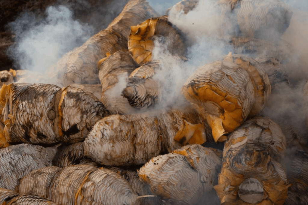 Smoking agaves for Mezcal