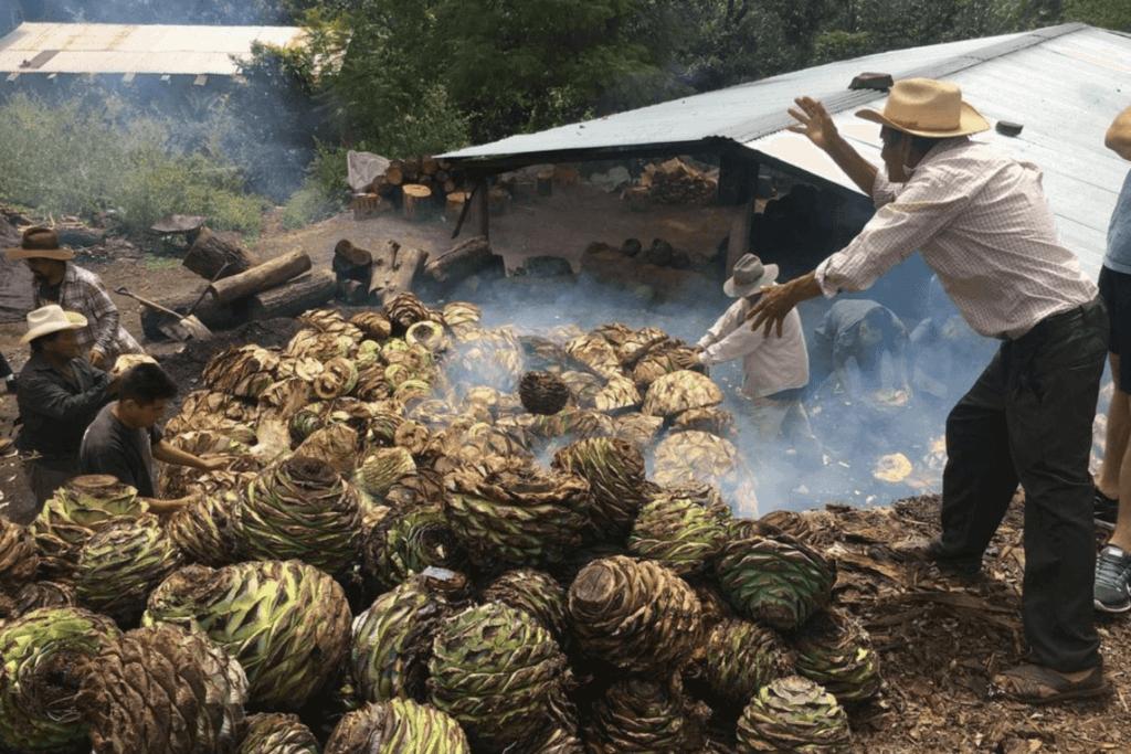 Manufacturing agave plants for Mezcal