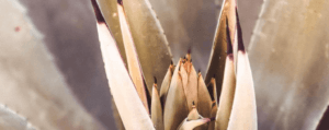 Nectar of Agaves – Our Top Mezcal Picks